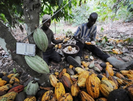 modernisation-cacao