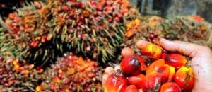 palmier-huile