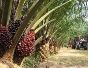 cameroun-palmeraie