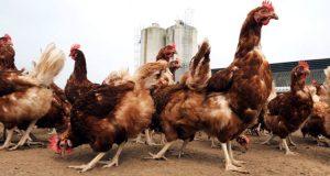 grippe-aviaire-cameroun