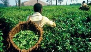 Congo RDC Regain d'intérêt pour le secteur agricole