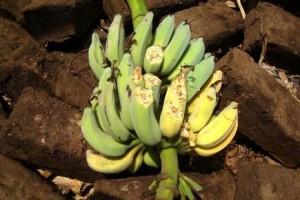 Afrique de l'Est la maladie du bananier un fléau qui sévit