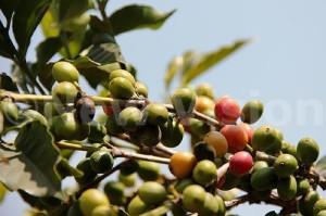 ouganda-best-qualite-cafe