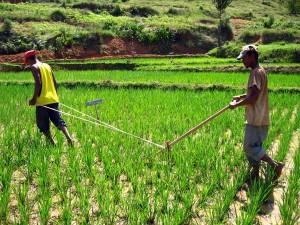 riz-madagascar