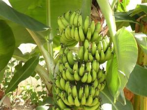 mali-banane